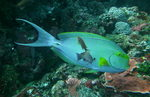 Traveling Yellowfin surgeonfish