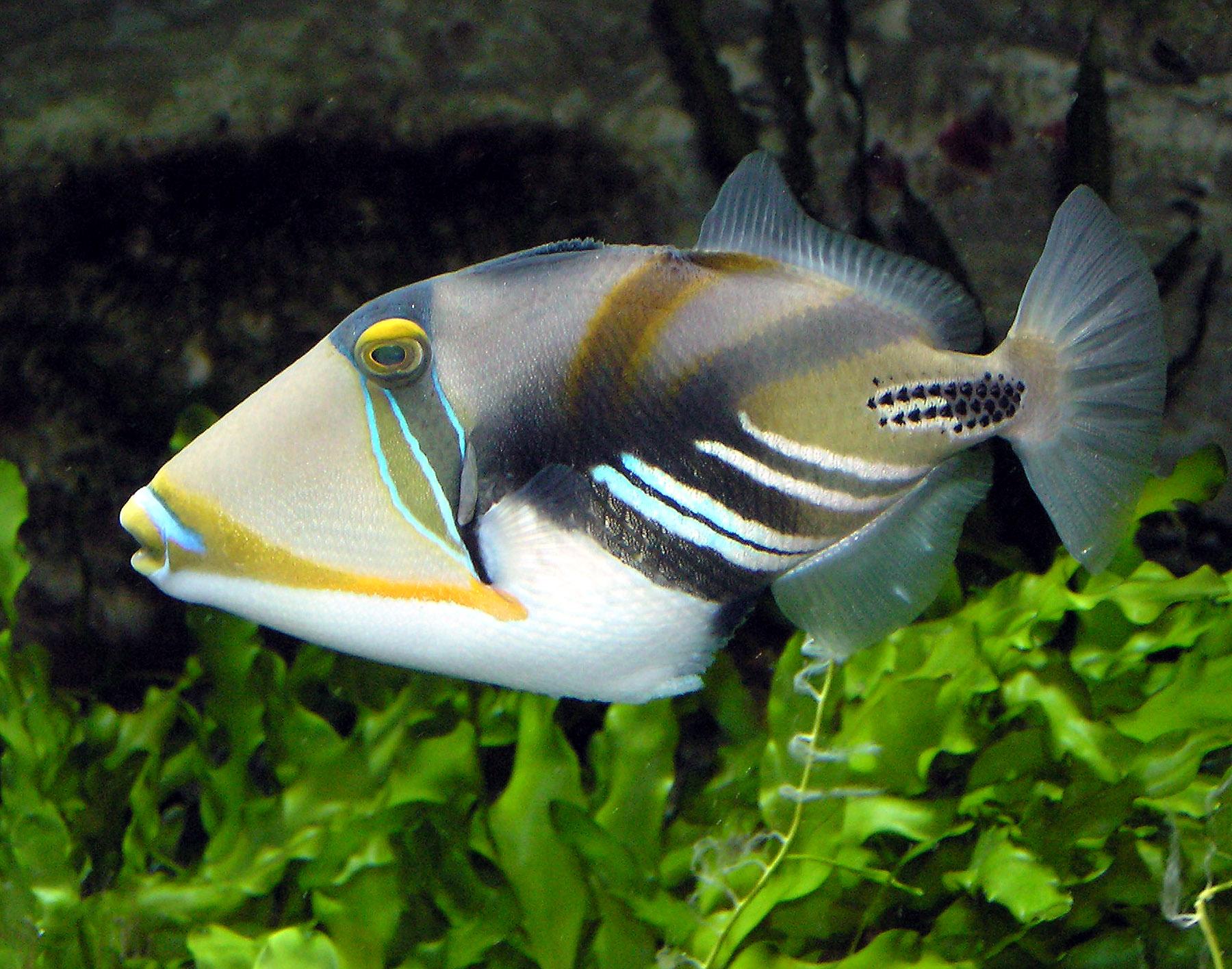 Triggerfish wallpaper