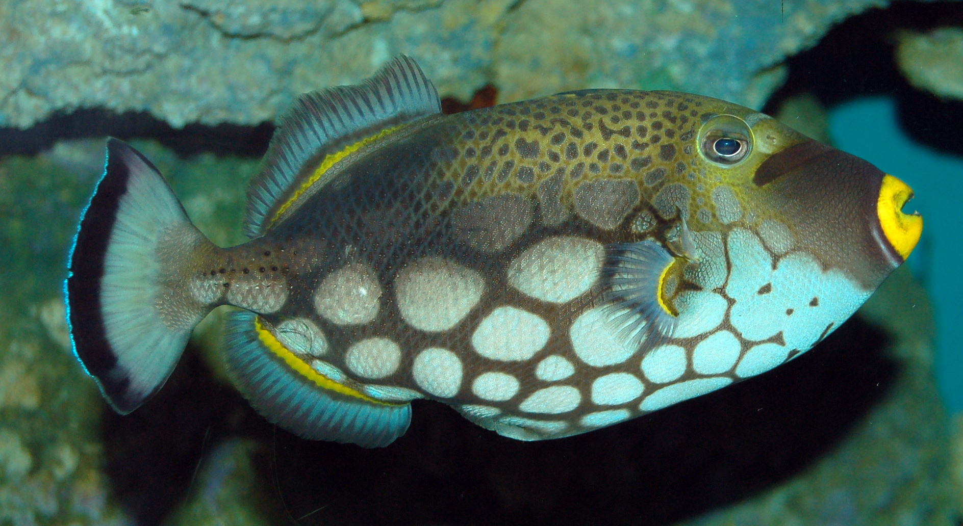 Triggerfish side view wallpaper