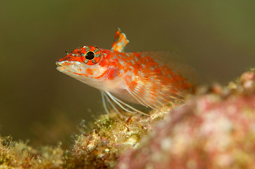 Triplefin blenny looking out wallpaper