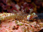 Triplefin blenny on the stone