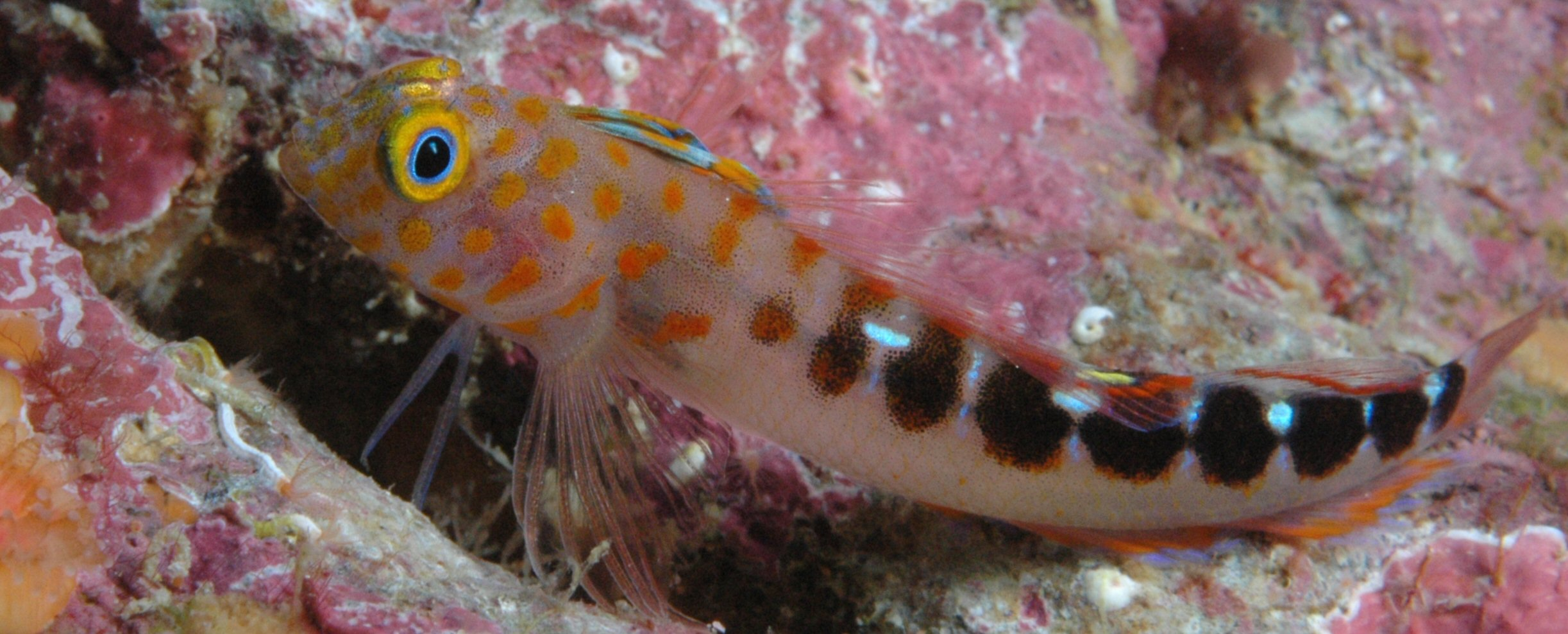 Triplefin blenny wallpaper
