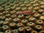 Трехперая морская собачка плывет