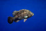 Tripletail blue background