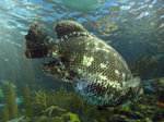 Tripletail near water surface