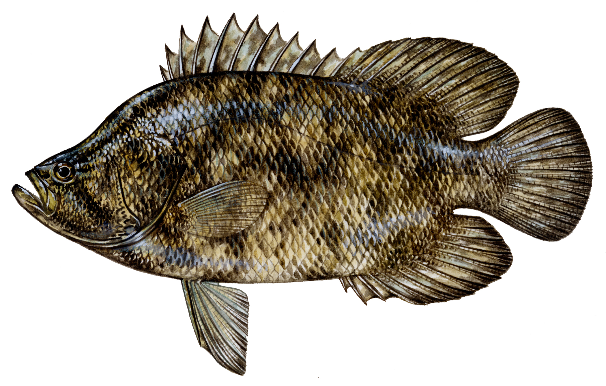 Tripletail portrait photo and wallpaper cute tripletail for Florida saltwater fish identification