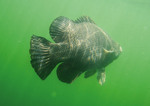 Tripletail swims