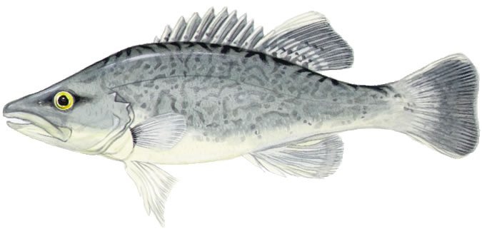 Trout cod drawing wallpaper