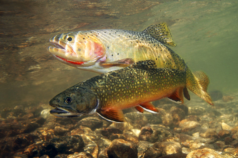 Trouts in the water wallpaper