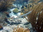 Trumpetfish among the seaweed