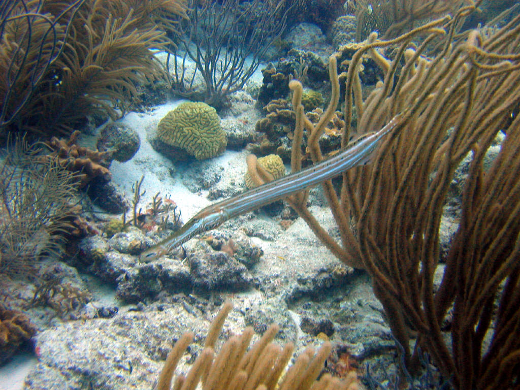 Trumpetfish among the seaweed wallpaper