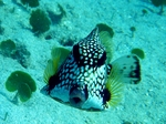 Trunkfish face