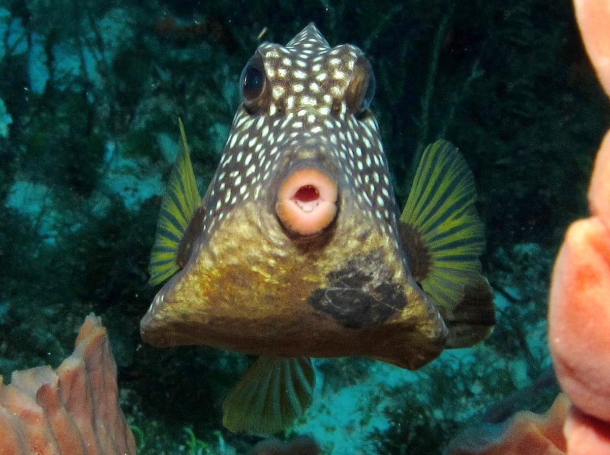 Trunkfish looking at you wallpaper