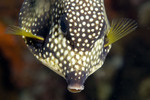 Trunkfish looking down
