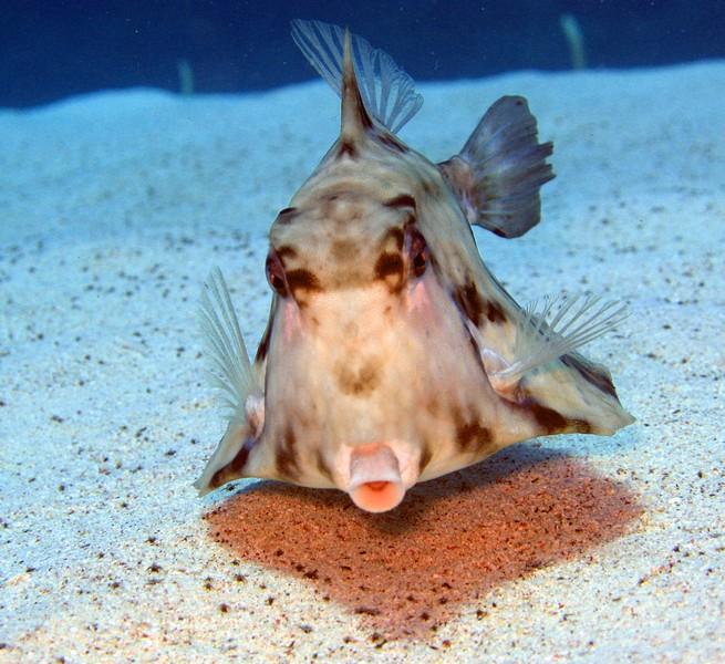Trunkfish wallpaper