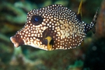 Trunkfish side view