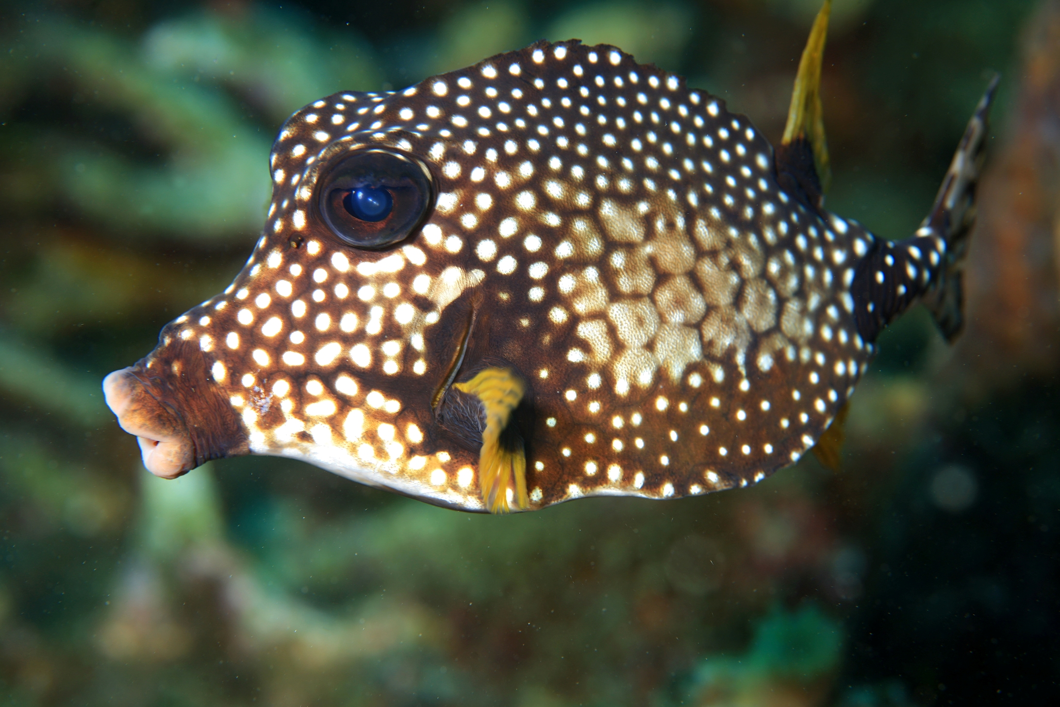 Trunkfish side view wallpaper
