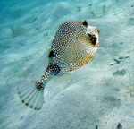 Trunkfish swims away
