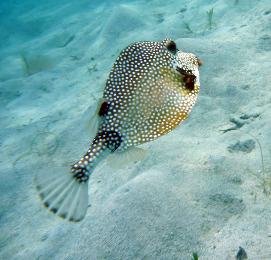 Trunkfish swims away wallpaper
