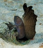 Tubeblenny standing