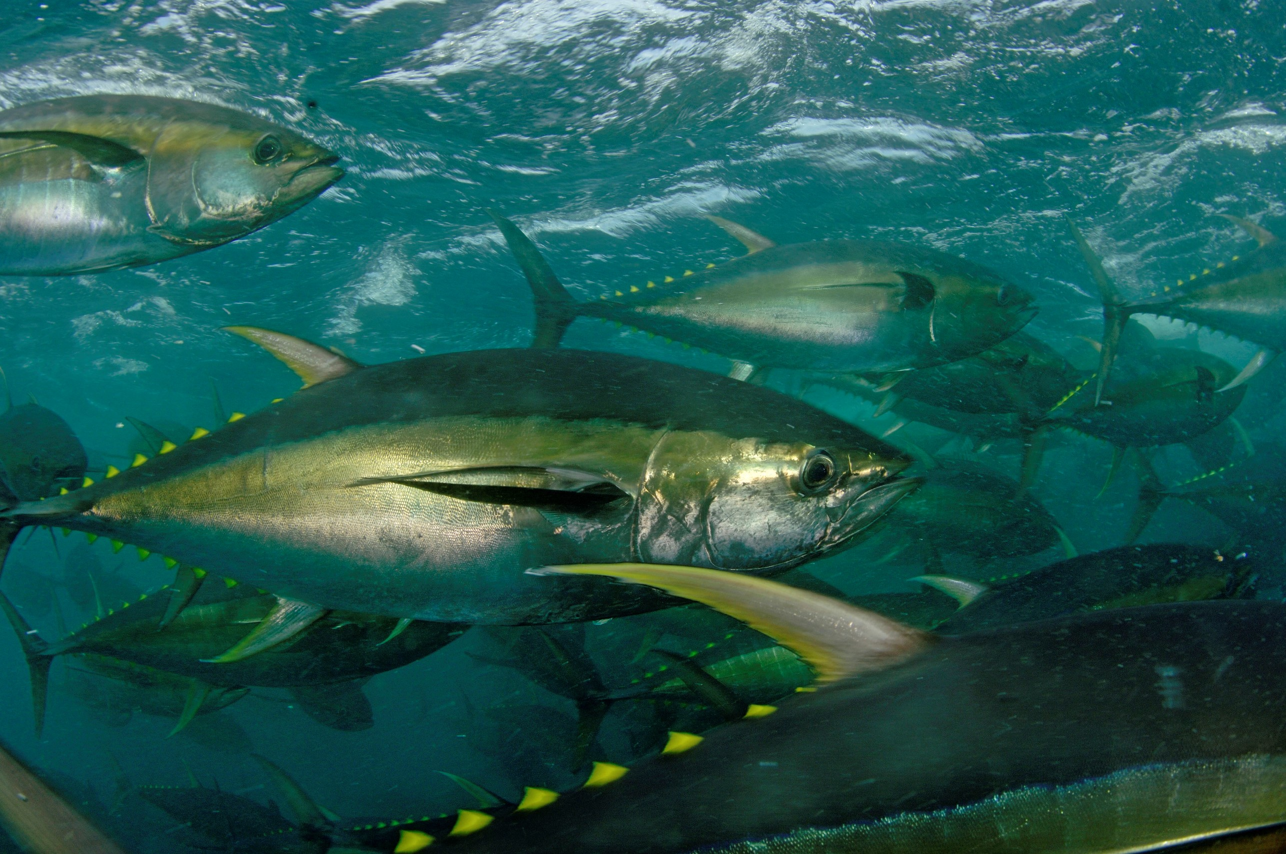 Tunas in the ocean wallpaper