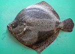Turbot green background