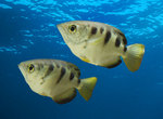 Two 	Archerfish