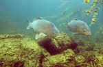 Two common carps swims