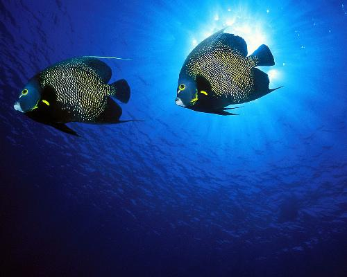Two french angelfishes wallpaper