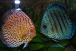 Two grace discus