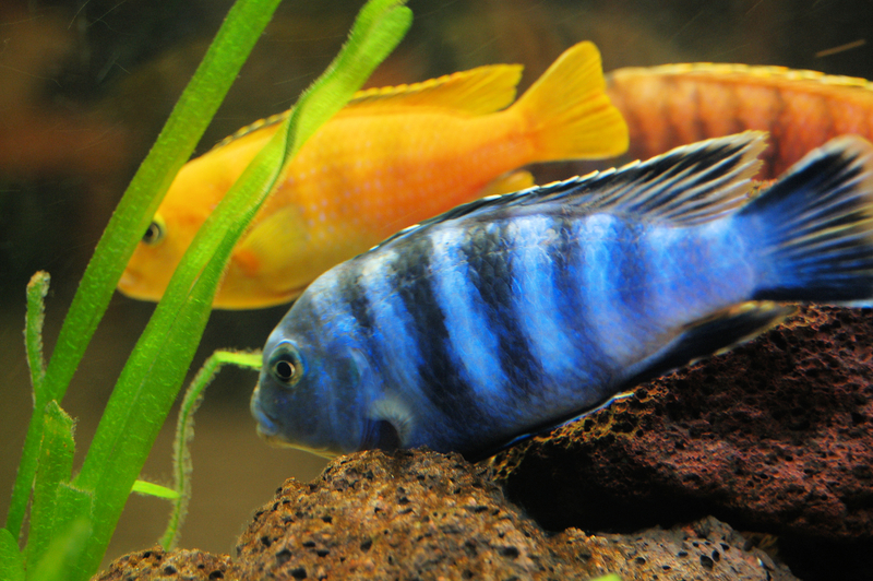 Two nice cichlid wallpaper