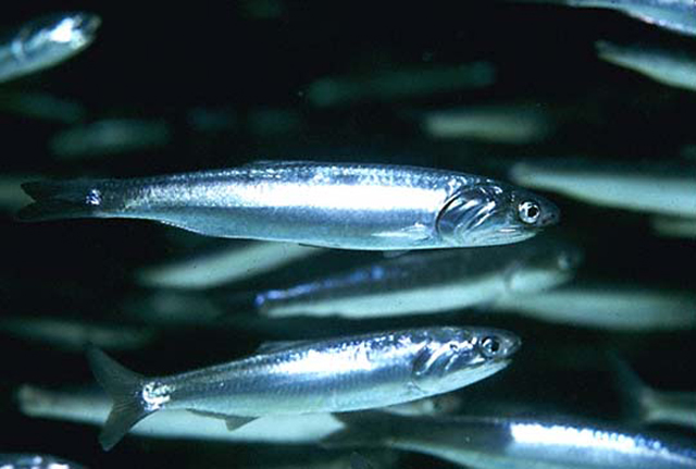 Two northern anchovy fishes  wallpaper