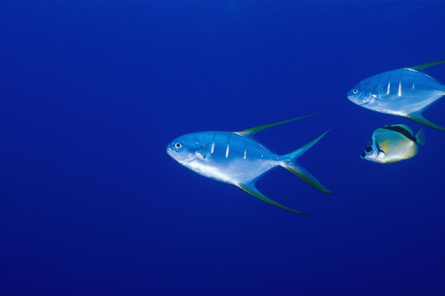 Two pompano fishes photo and wallpaper cute two pompano for Picture of pompano fish
