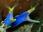Two Ribbon eels