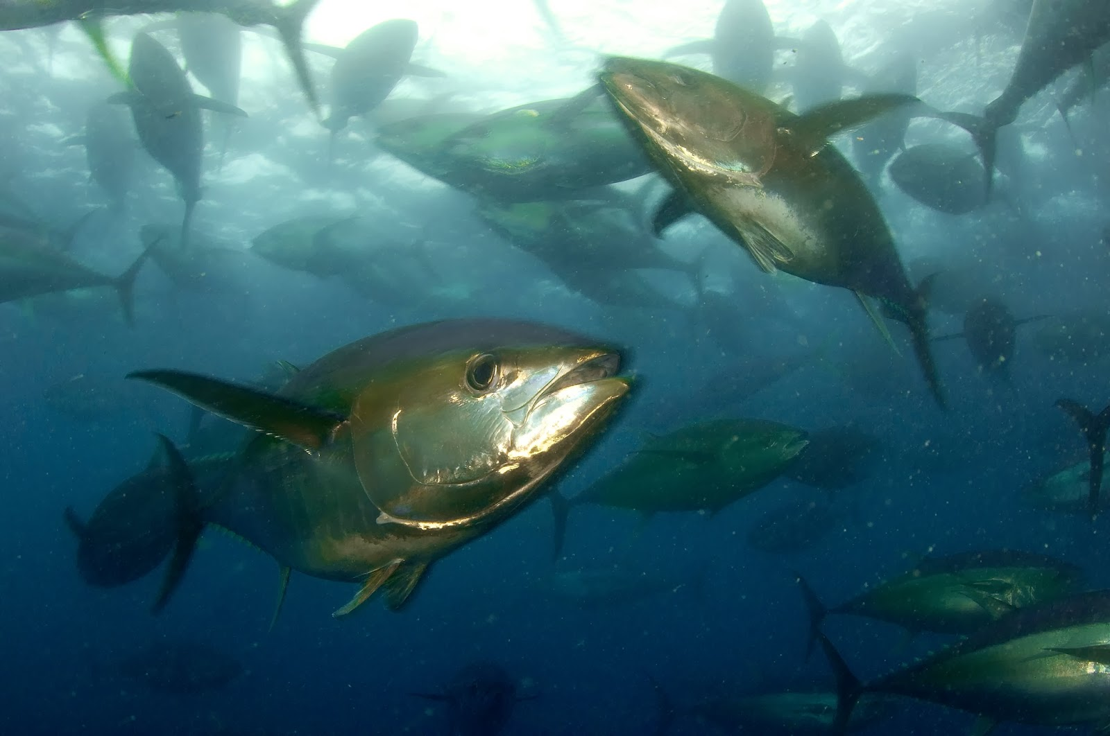 Two Yellowfin tuna fishes wallpaper