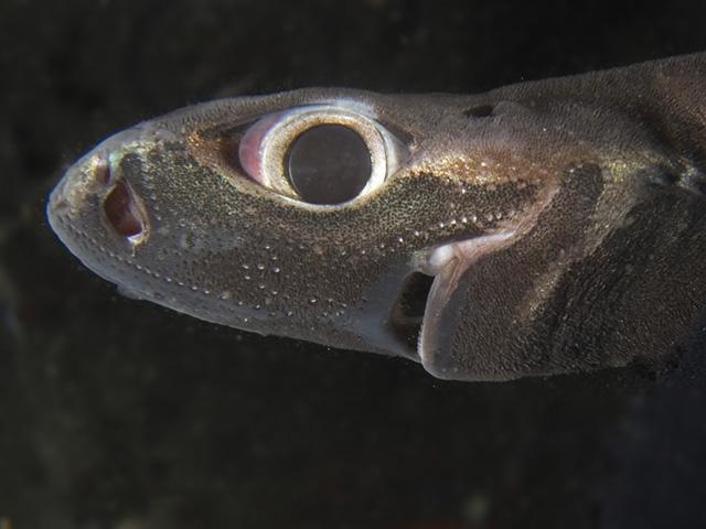 Голова ночной акулы фото