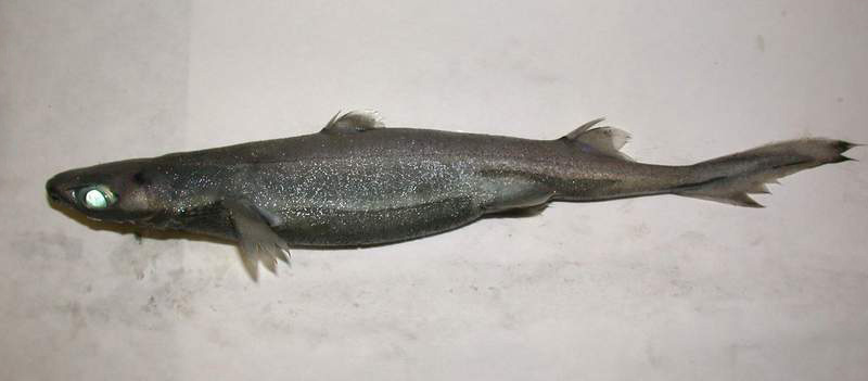 Velvet belly lanternshark wallpaper