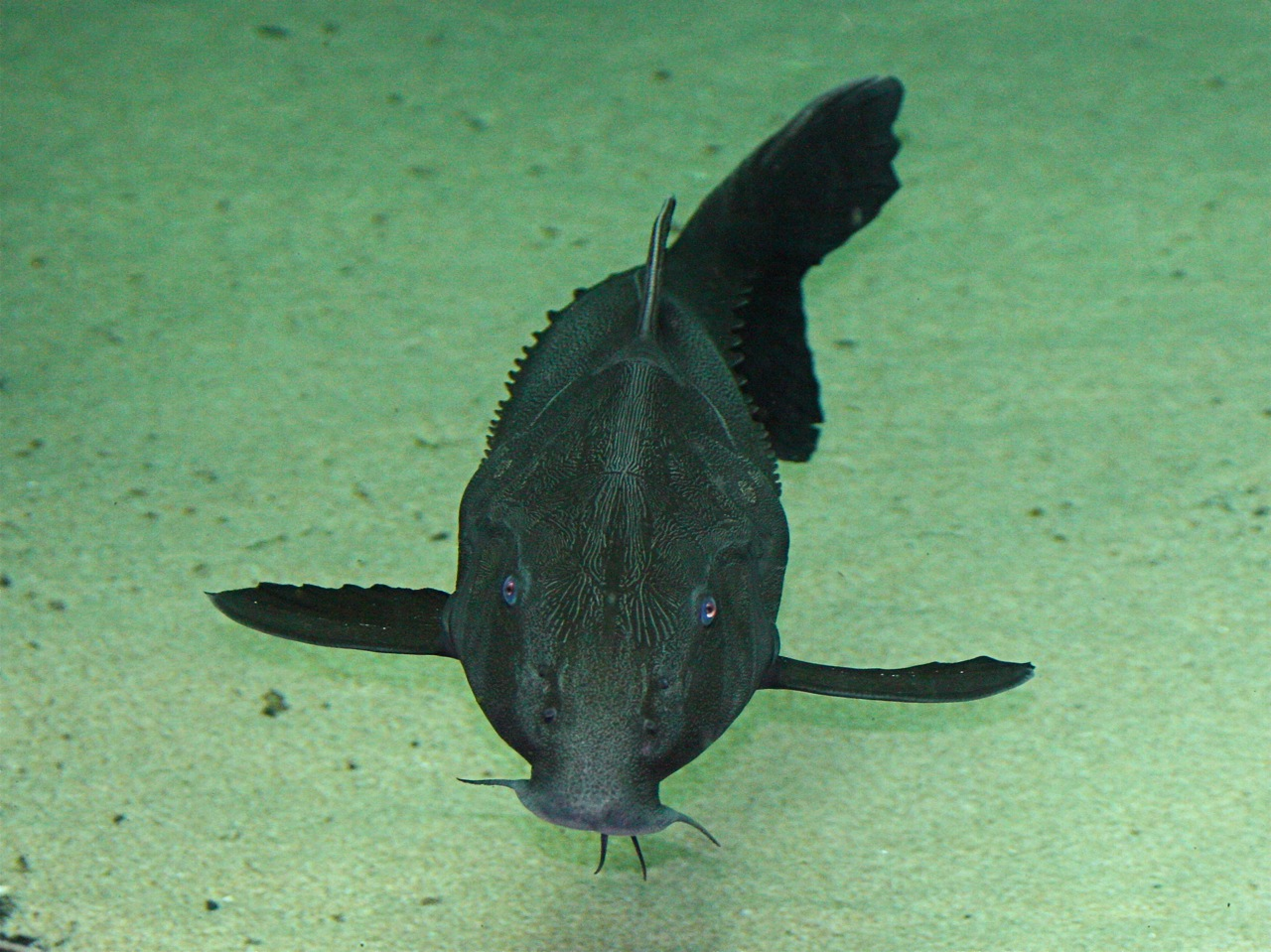View face Armorhead catfish wallpaper