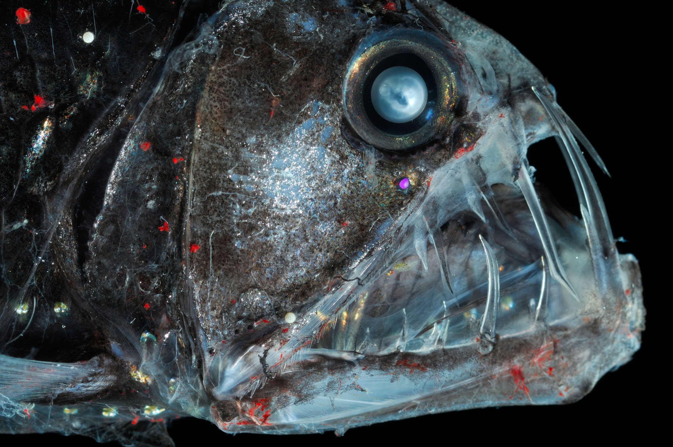 Viperfish head wallpaper