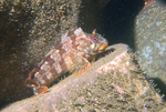 Walking Tompot blenny
