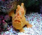 Брахионихтовая рыба смотрит на вас
