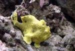 Брахионихтовая рыба вид сбоку