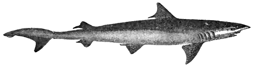 Weasel shark wallpaper