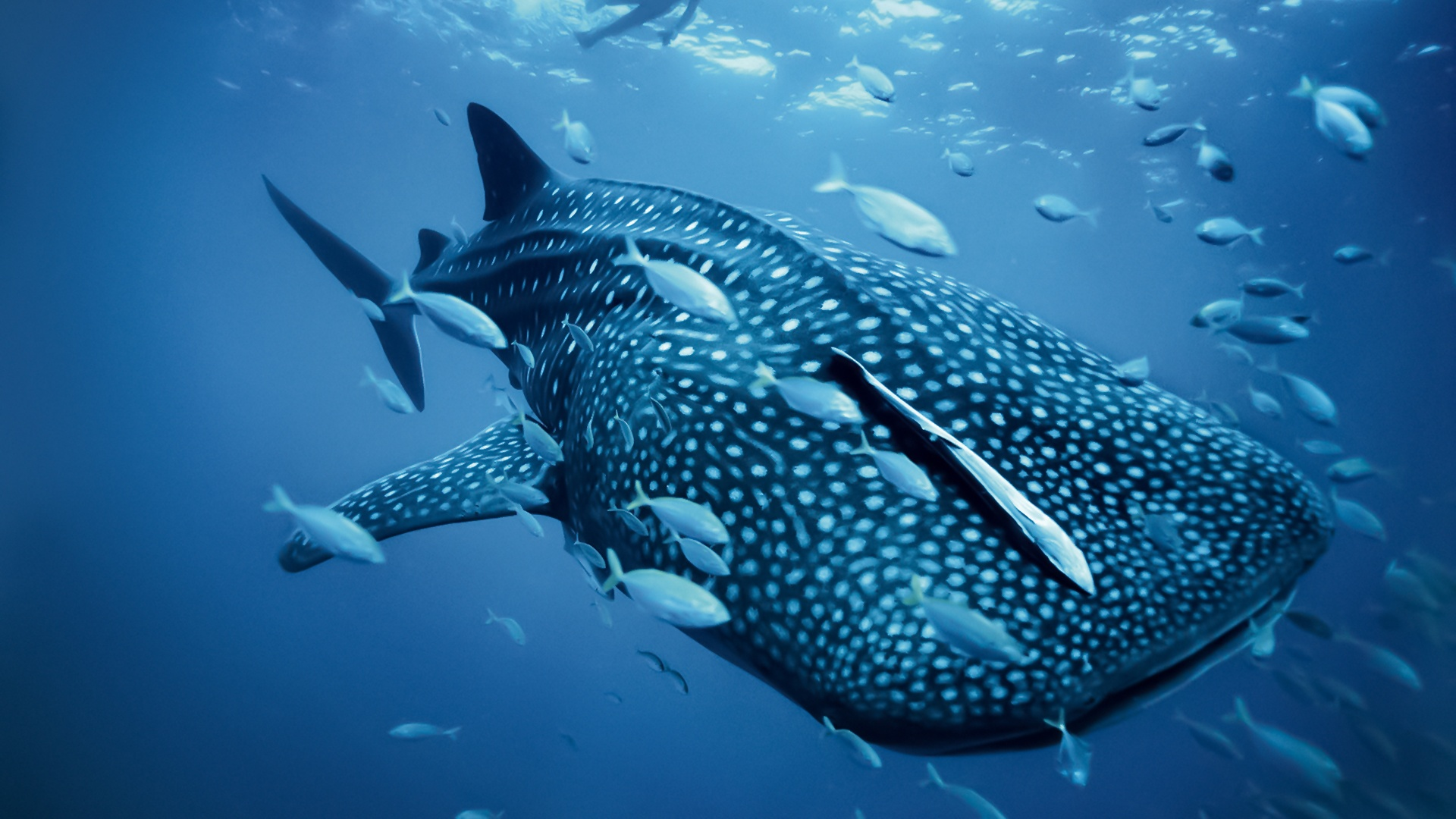 Whale shark among the fishes wallpaper