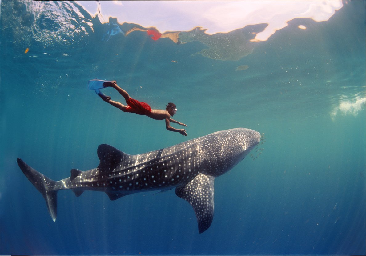 Whale shark and man wallpaper