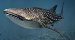 Китовая акула в темном океане
