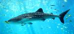 Милое фото китовой акулы