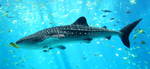 Whale shark nice