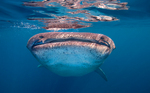 Whale shark watching at you