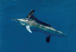 White marlin blue background